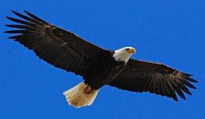 Bald_Eagle_Stock_by_Crystalsm
